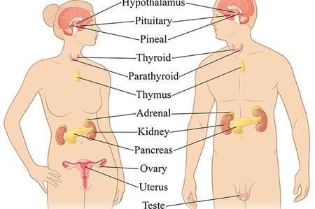 Sistema endocrino Salerno